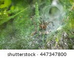 Small photo of Labyrinth Spider (Agelena labyrinthica) in its web, showing retreat behind it