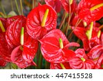 Several Flowers Of Anthurium...