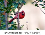 Northern Cardinal Hangs On A...