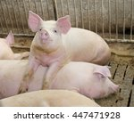Big And Fat Pigs In A Sty On A...