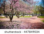 cherry blossoms in dc   Shutterstock . vector #447849034