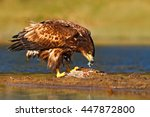 Eagle With Fish. White Tailed...
