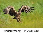 white tailed eagle | Shutterstock . vector #447931930