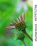 Eastern Coneflower Opening With ...