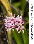 Small photo of Hybrid Vanda orchid , Fah Mui