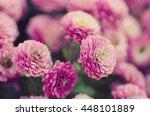 Pink Chrysanthemum Flowers...