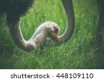 ostrich eating green grass on a ... | Shutterstock . vector #448109110