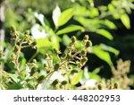 Blackberries On Plant