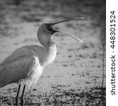 Small photo of African spoonbill singing while standing in water, South Africa