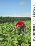 Small photo of Farmer or agronomist examine tobacco plant field in early summer