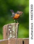 Small photo of American Robin Getting Ready To Feed The Chicks