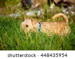 lakeland terrier dog hunting in ... | Shutterstock . vector #448435954