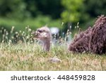 Ostrich In The Grass
