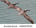 Close Up Of Two Brown Pelicans...