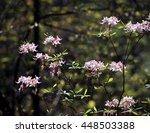 Sunlit Light Pink Wild Azaleas...
