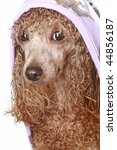 apricot poodle after a bath ... | Shutterstock . vector #44856187