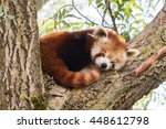 Red Panda Napping In A Large...