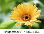 yellow daisy gerbera flower in...
