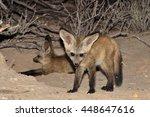 bat eared fox pups at the den | Shutterstock . vector #448647616