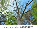 ash tree killed by emerald ash... | Shutterstock . vector #449053723