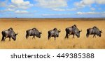 A Straight Line Of Wildebeest...