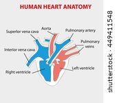 heart human anatomy. part of... | Shutterstock .eps vector #449411548