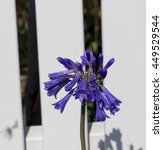 Small photo of Stately deep purple perennial agapanthus Lily of the Nile genus in subfamily Agapanthoideae of plant family Amaryllidaceae contrasted against the long green leaves is a popular feature plant .