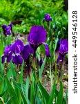 Iris Flowers Macro