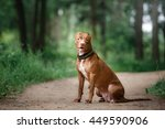 Pit Bull Terrier Dog In The...