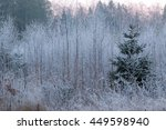 Frozen Young Birches And A...