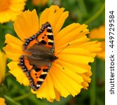 Small photo of Small Tortoiseshell Butterfly (Aglais urticae) on a yellow flower.