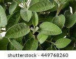 sage plants  salvia officinalis