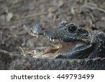 dwarf crocodile | Shutterstock . vector #449793499