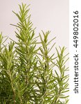 fresh rosemary leaves macro... | Shutterstock . vector #449802016
