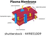 diagram with plasma membrane... | Shutterstock .eps vector #449851009