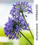 Small photo of close up of Agapanthus africanus or African lily flower
