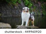 australian shepherd | Shutterstock . vector #449960920