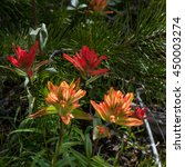Striped Indian Paintbrush...