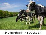Dutch Holstein Zwartbont Cows...