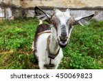 Curious Happy Goat Grazing On ...