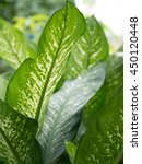 Small photo of Aglaonema Green Leaf at Thailand