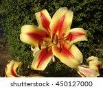 Orienpet Hybrids Lily 'montego...