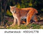 wild cat in the forest. lynx in ...   Shutterstock . vector #450141778
