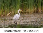 White Egret Wading In The Lake...