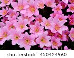 rain lily flowers  zephyranthes ... | Shutterstock . vector #450424960