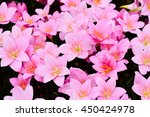 rain lily flowers  zephyranthes ... | Shutterstock . vector #450424978