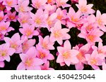 rain lily flowers  zephyranthes ... | Shutterstock . vector #450425044