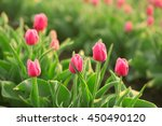 field of beautiful blooming... | Shutterstock . vector #450490120