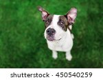 pit bull terrier sitting on... | Shutterstock . vector #450540259