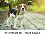 Stock photo beagle puppy standing on the walkway in public park with sunlight 450553666
